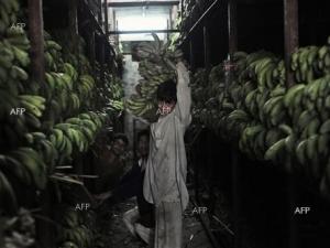 Дубайски митничари откриха 171 кг кокаин пратка с банани