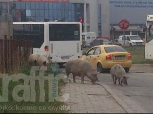 Прасета обикалят из улиците на Пловдив СНИМКИ