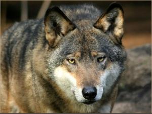 В околностите на Париж върлуват вълци