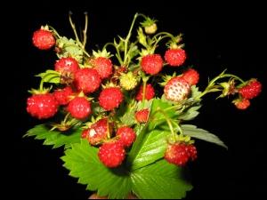 Търсят се 350 берачки на ягоди за Испания