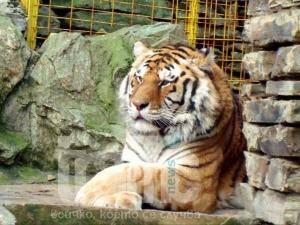От последните минути: Тигър избяга от зоопарка!