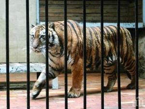 Приспаха тигъра Мъри