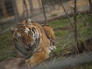 Избягалият тигър е отново в клетката си