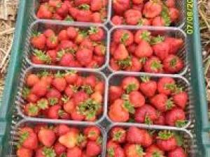 Търсят ягодоберачки за Испания от Пловдивско