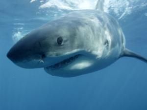 Акула изяде краката на сърфист