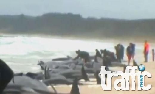 Как се спасяват 200 делфина-самоубийци ВИДЕО