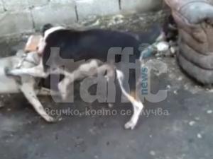 Нова жестокост! Цигани организират кучешки боеве до смърт край Пловдив ВИДЕО 18+