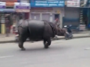Разярен носорог уби жена и рани шестима души в Непал ВИДЕО