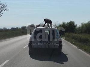 Тотална гавра: Изроди возят куче върху покрива на кола край Пловдив ВИДЕО