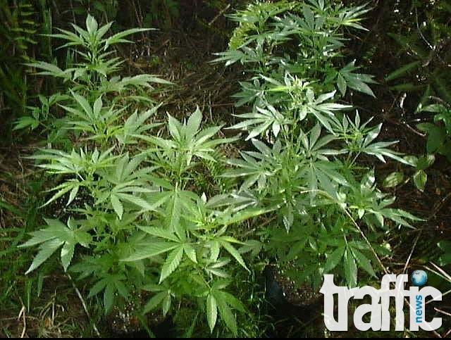 Заловиха двама мъже за разпространение на наркотици