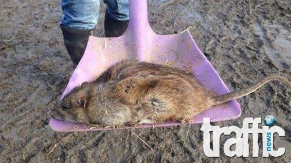 Плъхове с размер на котка тероризират Перник