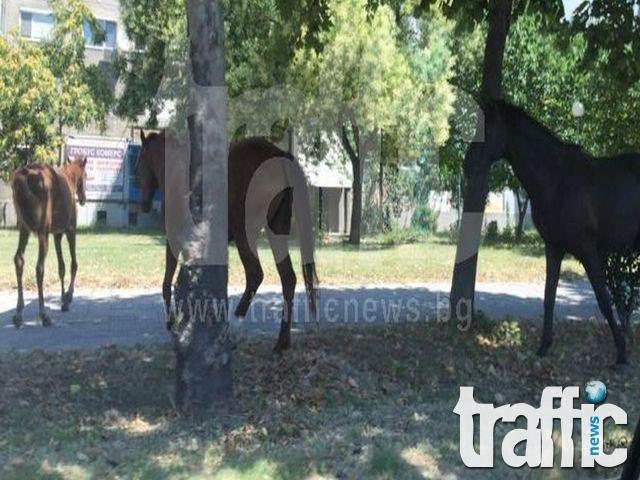 Каруци кръстосват пловдивски булеварди, коне пасат на воля в градинките СНИМКИ