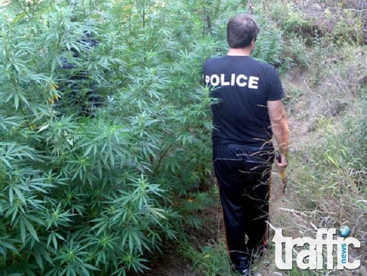 При спецакция на полицията в Пловдивско задържаха трима мъже, отглеждали канабис