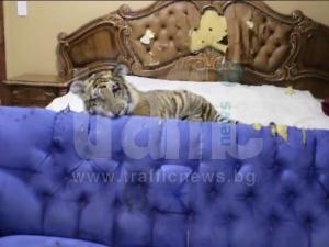 Само в TrafficNews.bg: Варненец си взе тигърче за домашен любимец СНИМКИ