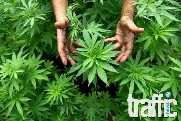 Откриха плантация с марихуана в Първомай