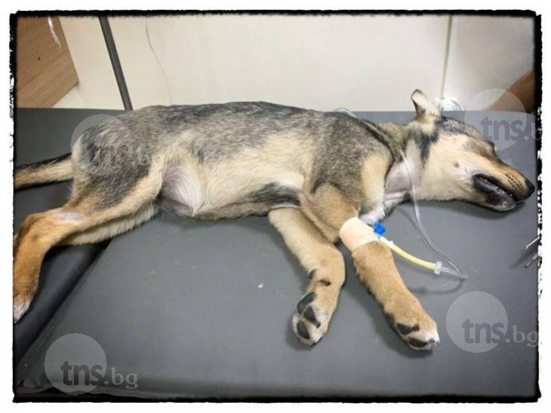 Расте броят на убитите кучета в Пловдив! Отровени животни има и в Кючука, и в Тракия СНИМКИ
