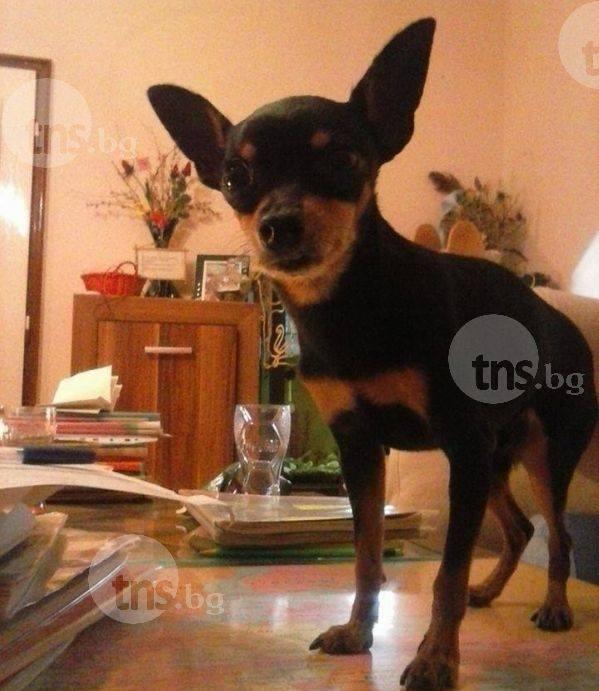 Откраднатото кученце Джери си отиде - сърцето му не издържа преживения шок