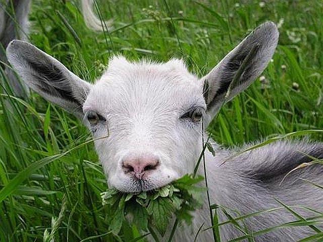 Полицията в Индия арестува коза, пасяла в чужд двор ВИДЕО