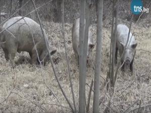 Трите прасенца се борят за магистратура в Пловдив ВИДЕО