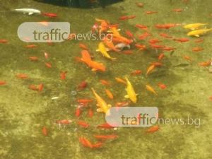 Стотици рибки събират погледите на пловдивчани в Цар-Симеоновата градина СНИМКИ