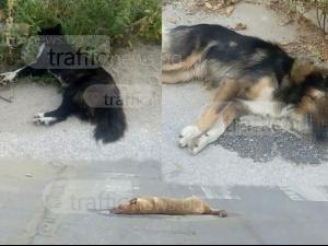 Труповете на три отровени кучета лежат зловещо на шосето в село Труд СНИМКИ