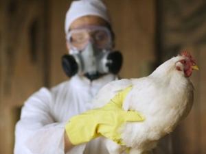 Откриха птичи грип в пловдивска птицеферма!