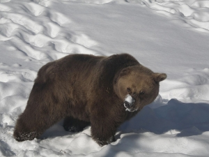 Евакуираха десетки скиори заради мечка