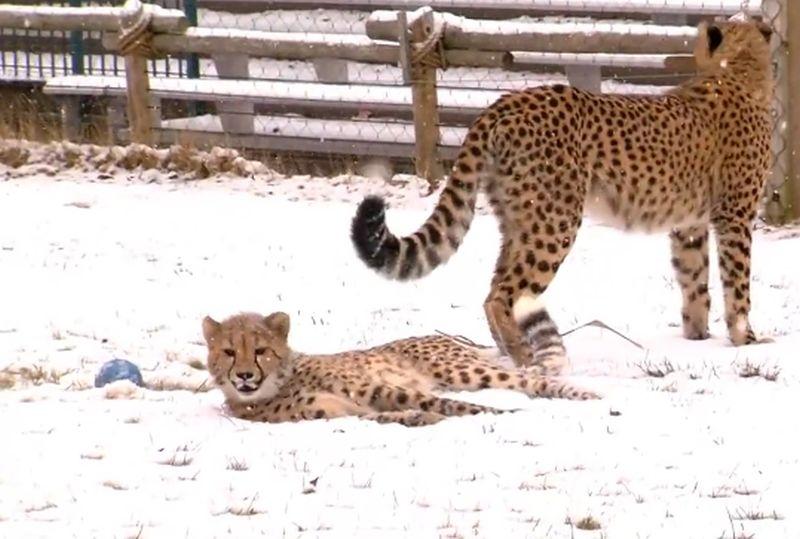 Какво се случва, когато гепарди видят за първи път сняг? ВИДЕО