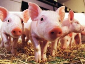 Учени с първи стъпки към създаването на органи за хора в... свине
