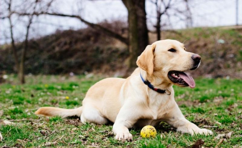 Лабрадорка роди... зелено кученце ВИДЕО