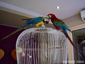 Двойка папагали посреща гостите на известно пловдивско заведение СНИМКИ