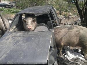 Масово гледат овце, кози и прасета в Пловдив,  вмирисват цели квартали