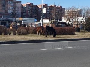Магарешка работа: Животни хрупат трева покрай булевард в Пловдив СНИМКИ