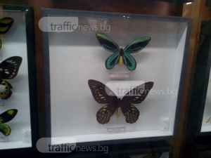 Гигантска пеперуда за почти 11 хиляди лева радва пловдивчани СНИМКИ