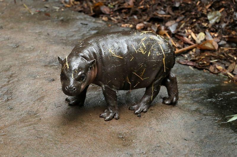 Показаха за първи път хипопотам джудже СНИМКИ