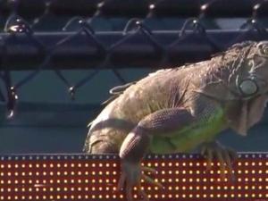 Игуана прекъсна мач от тенис турнира в Маями ВИДЕО