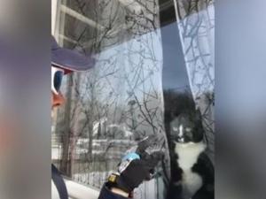 Котка, бранеща дома от пощальонка, се превърна в интернет сензация ВИДЕО