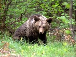 Събудиха се! Първо нападение на мечка в Смолянско за сезона