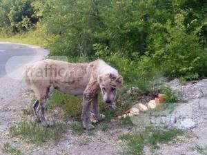 Отново изхвърлен любимец край Пловдив! Алабай се скита сам край Храбрино СНИМКА