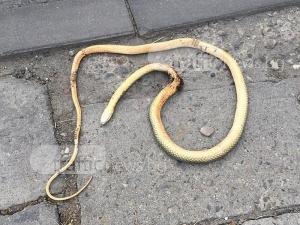 Змии плъзнаха в Кючука СНИМКИ