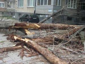На косъм от трагедия: Огромно дърво се строполи на метри от пловдивчанин СНИМКИ