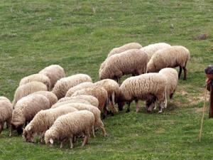 Трио апаши с двоен удар – първо задигнаха овце, а след това и бус, за да ги извозят