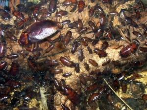 Учени предупреждават: Хлебарките еволюират, могат да завладеят света