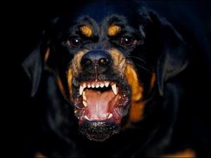 Ротвайлери разкъсаха малко кученце