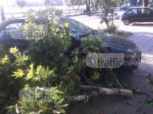 """В ясно и тихо време: Клони """"валят"""" върху коли в центъра на Пловдив СНИМКИ"""