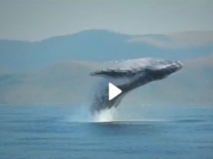 Уникално! Вижте как 40-тонен кит изскача от водата ВИДЕО