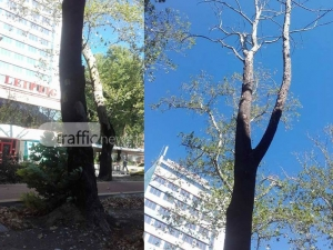 """Изсъхнало дърво се извисява застрашително над пешеходците по """"Руски"""" СНИМКИ"""