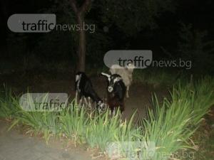 С усещане като на село: кози припкат под тераси в Пловдив, слизат и на булеварда СНИМКИ