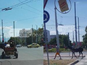 Коне и каруци обикалят Пловдив! Газят улици и закони СНИМКИ