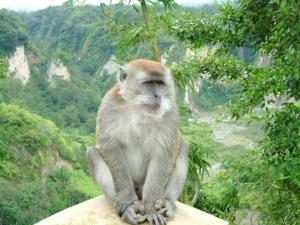 Армия и полиция на крак срещу маймуни-терористи в Индонезия